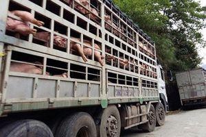Ngăn chặn vận chuyển, kinh doanh lợn không rõ nguồn gốc