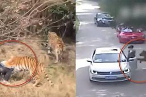 Clip 4 vụ hổ cắn đứt tay và chết người rúng động cộng đồng mạng