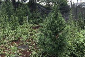 Một hộ dân ở Gia Lai trồng hơn 200 cây cần sa trong vườn nhà