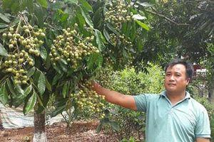 Sơn La: Dân Sông Mã bỏ ngô trồng nhãn, cứ mùa trái chín là có tiền