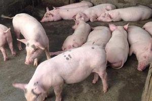 Giá heo (lợn) hơi hôm nay 5/6: Có nơi tăng tới 4.000 đồng/kg