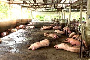 Dịch tả lợn châu Phi lan nhanh chóng mặt