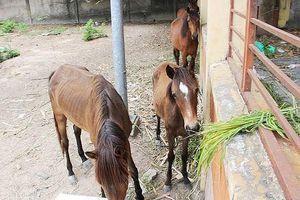 Thanh lý đàn 5 con ngựa hoang 'dạo phố'