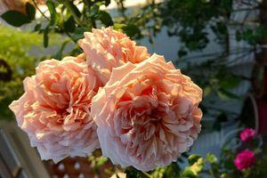 Kinh nghiệm giúp sân thượng hoa hồng nở rực rỡ, ngát hương của cô giáo dạy Văn ở Nha Trang