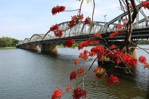 Ngắm hoa phượng vĩ 'nhuộm đỏ' góc trời cố đô Huế những ngày hè