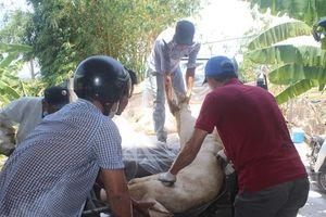 Dịch tả lợn Châu Phi lây lan 69 xã ở tỉnh Thừa Thiên - Huế