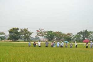 Phát triển giống lúa theo hướng xuất khẩu