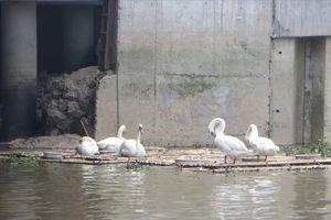 'Nhà' của đàn thiên nga trên sông Tam Bạc được thay phao nổi bằng nhựa