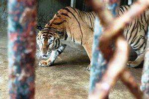 Hổ bị lén lút bán xẻ thịt nấu cao