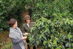Giải pháp giữ ổn định thu nhập cho người trồng cà phê