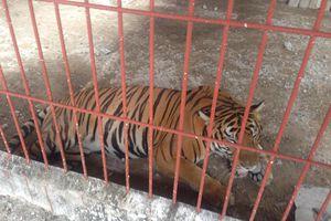 Đề nghị rút giấy phép nuôi hổ tại khu du lịch Thanh Cảnh
