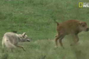 Bị sói cắn từ phía sau, bê con tung đòn đá hậu thoát chết ngoạn mục