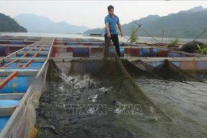 Nuôi cá lồng trên lòng hồ Hòa Bình cho thu nhập cao