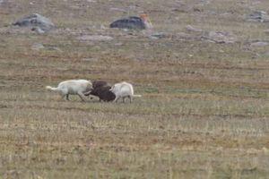 Bê non một mình chống chọi với 2 con sói háu đói và cái kết bất ngờ