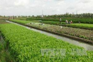 Trà Vinh chuyển 12.000 ha trồng lúa kém hiệu quả sang trồng cây khác
