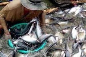 ĐBSCL: Giá cá tra nguyên liệu giảm mạnh