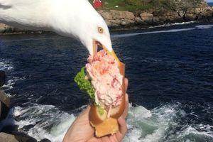Ảnh hải âu 'cướp' bánh kẹp tôm hùm trên tay cô gái Mỹ gây sốt