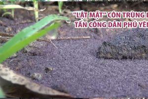 'Lật mặt' loài côn trùng lạ khiến người dân Phú Yên khốn khổ