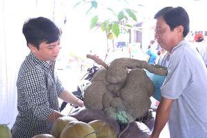 Củ bình vôi 41 kg được thầy giáo ở Cần Thơ gìn giữ qua ba đời