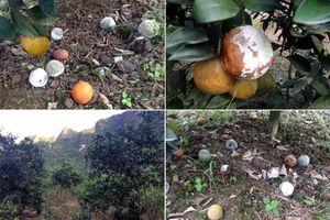 Vợ chồng nông dân Hòa Bình kêu cứu vì vườn cam 7.000 gốc bị phá hoại