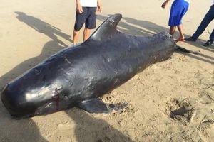 Xác cá voi nặng 1 tấn dạt vào bờ biển Hà Tĩnh