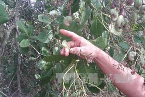 Điều tra, làm rõ vụ phá hoại 1.000 cây điều của nông dân tại Bình Phước