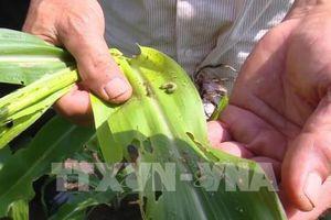 Lai Châu khuyến cáo phun thuốc nhằm giảm thiệt hại do sâu keo mùa thu