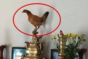 Đúng ngày giỗ ông lại có con gà bay lên ban thờ, thanh niên hoang mang vì sợ có 'điềm báo'