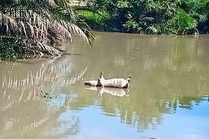 Sài Gòn xuất hiện dịch tả Châu Phi, hơn 160 con lợn bệnh bị tiêu hủy