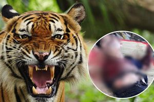 Người đàn ông bị hổ cắn đứt lìa 2 tay ở Bình Dương: Do đến trêu ghẹo hổ khi đang say xỉn