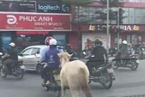 Dùng xe máy dẫn ngựa ngay trên đường phố Hà Nội