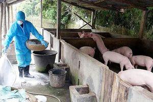 19% tổng đàn lợn của Hà Nội bị tiêu hủy vì dịch tả lợn châu Phi