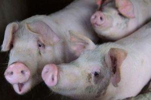 Các nước 'dốc sức' phòng chống dịch tả lợn châu Phi