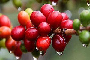 Giá cà phê giảm nhẹ 300 đồng