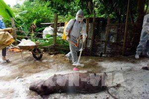 Phát hiện ổ dịch tả lợn châu Phi đầu tiên tại Tp. Hồ Chí Minh