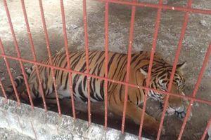 Đề nghị thu hồi giấy phép nuôi hổ bảo tồn tại Khu du lịch sinh thái Thanh Cảnh