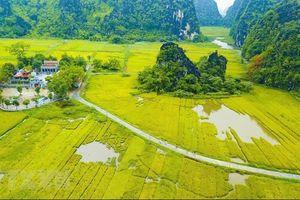 Vẻ đẹp mùa lúa chín vàng bao quanh đền cổ Thái Vi