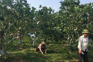 Hiệp Hòa: Chuyển vườn bưởi 600 cây sang sản xuất hữu cơ