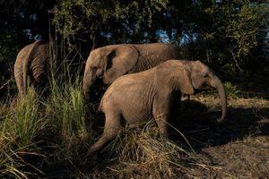 Người Botswana phẫn nộ trước sự lộng hành của loài voi