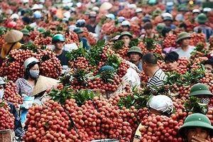Trái vải thiều Lục Ngạn đủ điều kiện xuất khẩu vào thị trường Mỹ, Trung Quốc