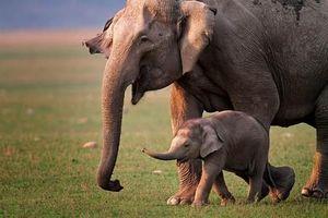 Bi thương cảnh voi mẹ mang xác con đi khắp nơi