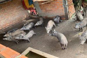 Dịch tả heo Châu Phi tiếp tục lây lan trên địa bàn tỉnh Bạc Liêu