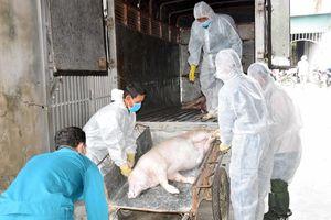 Yên Thành đã có 10 xã xuất hiện dịch tả lợn châu Phi