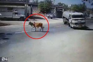 Bò thả rông lao sang đường, tài xế xe bồn đánh lái ngoạn mục như phim