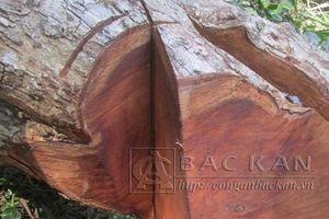 41 cây gỗ nghiến bị sát hạ trong rừng phòng hộ ở Bắc Kạn