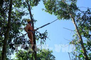 Đảm bảo hành lang an toàn lưới điện mùa cao điểm khai thác keo