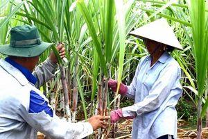 Minh bạch chất lượng mía nguyên liệu để đảm bảo công bằng cho nông dân