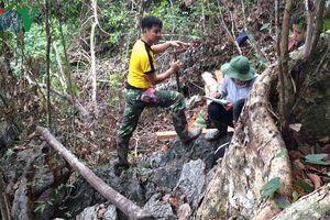 Bắc Kạn phát hiện nhiều cây gỗ nghiến chặt hạ trái phép