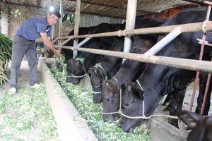 Thúc đẩy ngành chăn nuôi bò: Từng bước thay đổi cơ cấu bữa ăn