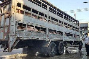 TP.HCM: Khẩn cấp phòng chống dịch tả lợn châu Phi trên địa bàn 24 quận, huyện